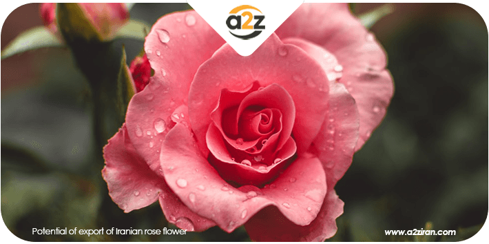 Potential of export of Iranian rose flower